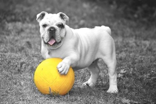 bulldog-601714_960_720
